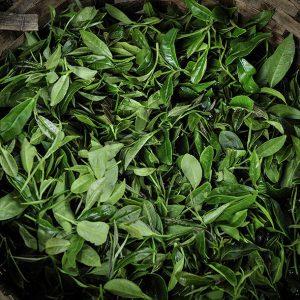Tea-Harvest