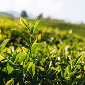 tea-blend_2