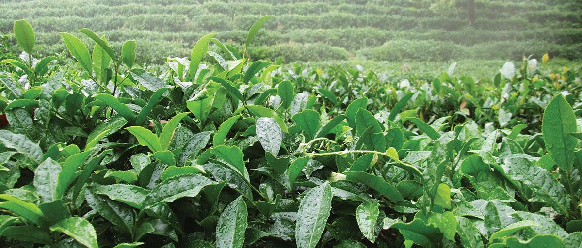 Sustainability - Newby Teas